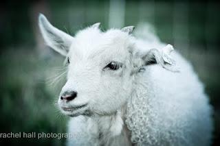 Goats-1632