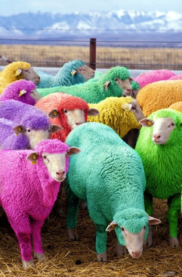 freshly-dyed-sheep-run-in-view-of-the-highway-near-bathgate-scotland-the-sheep-farmer-has--motorists-63106